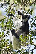 Indri <br /> Indri indri<br /> Andasibe Mantadia National Park, Madagascar