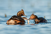 Eared Grebes, Podiceps nigricollis, adult feeding fish to chick, South Dakota