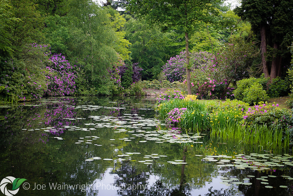 Rhododendrons and azaleas are reflected in the expanse of a garden lake at Tatton Park, Knutsford.