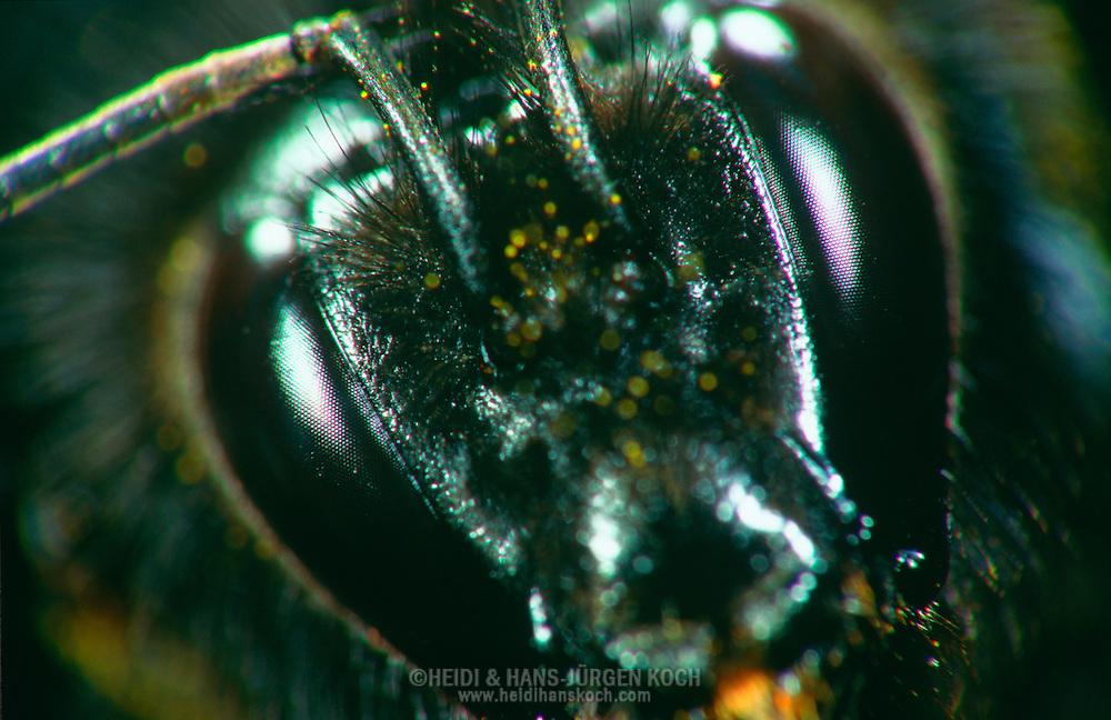 DEU, Deutschland: Porträt von einer Erdhummel (Bombus terrestris), Nahaufnahme | DEU, Germany: Bumble Bee (Bombus terrestris), insect portrait, close-up |