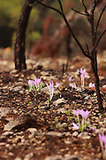 Colchicum stevenii Steven's Meadow saffron Photographed in Israel, Carmel Forest in November
