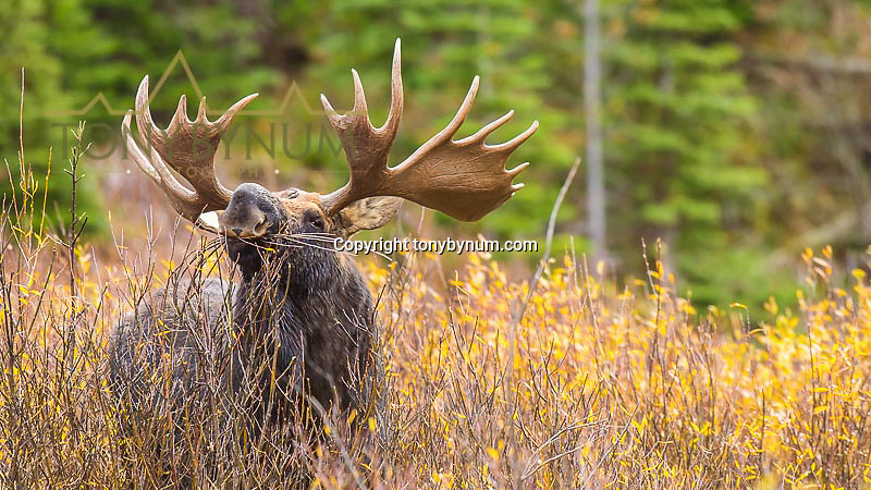 bull moose feeding on willow leaves