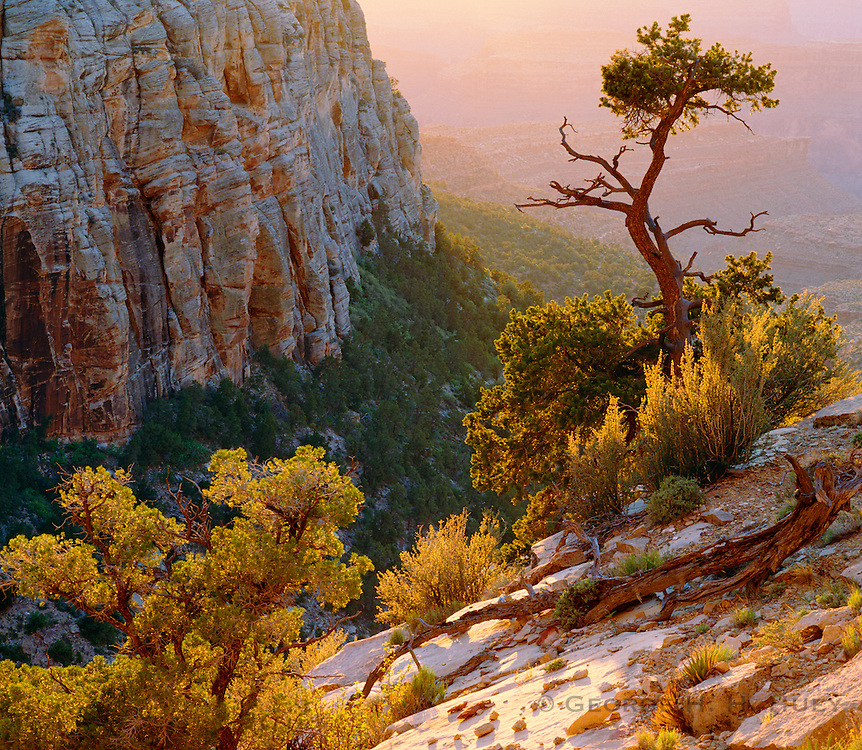 0107-1104 ~ Copyright: George H. H. Huey ~ Pinyon pine along the South Bass Trail, with view to inner canyon. Grand Canyon National Park, Arizona.