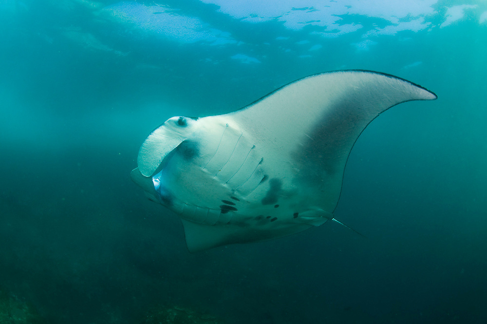 The world's largest ray, the Manta (Manta birostris) is commonly found in Komodo National Park, Indonesia