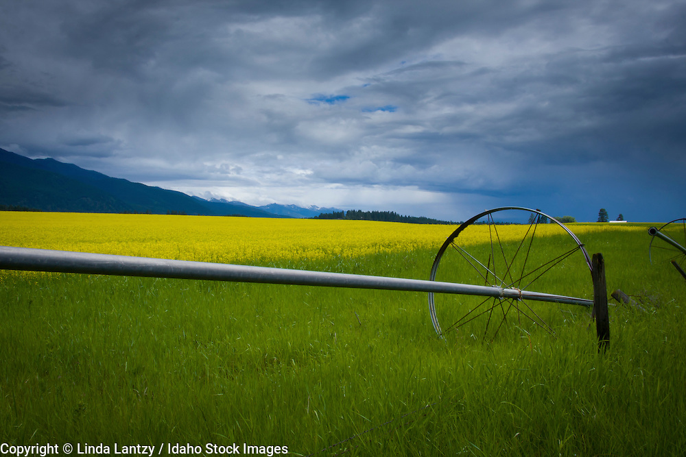 Montana, Flathead Valley, Columbia Falls,  Unused Irrigation pipes sit on the edge of a vibrant yellow canola field at the base of the Mission Mountain range.