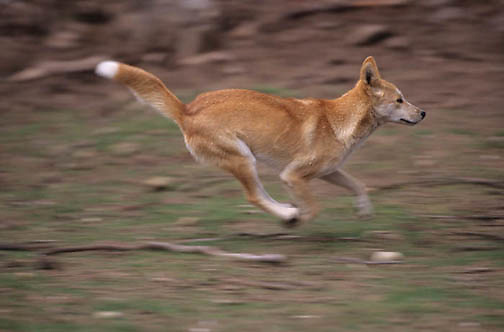 Dingo, (Canis familiaris) Running. Australia. Captive Animal.