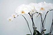white orchid plant against a white background