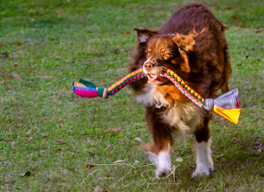Cowboy, a red tri Australian Shepherd, plays with a braided tug toy, October 29, 2015, in Coden, Alabama. (Photo by Carmen K. Sisson/Cloudybright)
