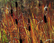 "Typha ""cattails"" in autumn color in Grand Teton National Park"