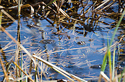Wood frogs (Rana sylvatica) with their eggs in a vernal pool, Acadia National Park, Maine.