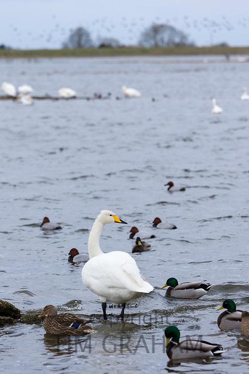 Whooper Swan, Cygnus cygnus, and Pochard and Mallard Ducks, at Welney Wetland Centre, Norfolk, UK