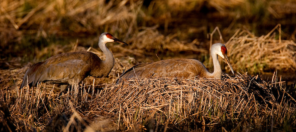Sandhill Cranes watch over their two eggs in their nest.  They nest in wetlands and take turns incubating the eggs until hatch about thirty days later.  Photo by Tom Lynn