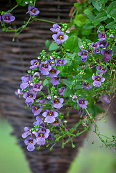 Diascia barberae 'Piccadilly Denim Blue'