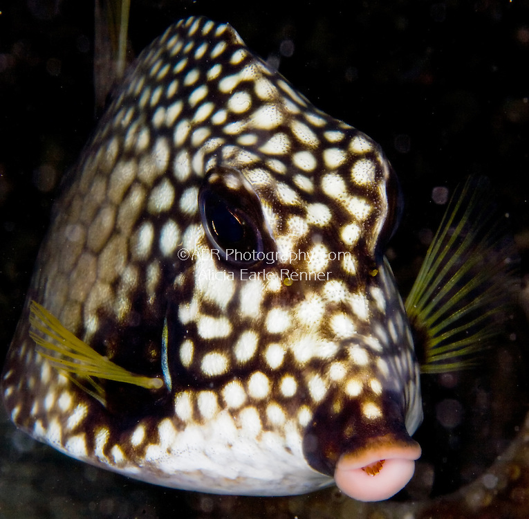 trunk fish lips in Bonaire