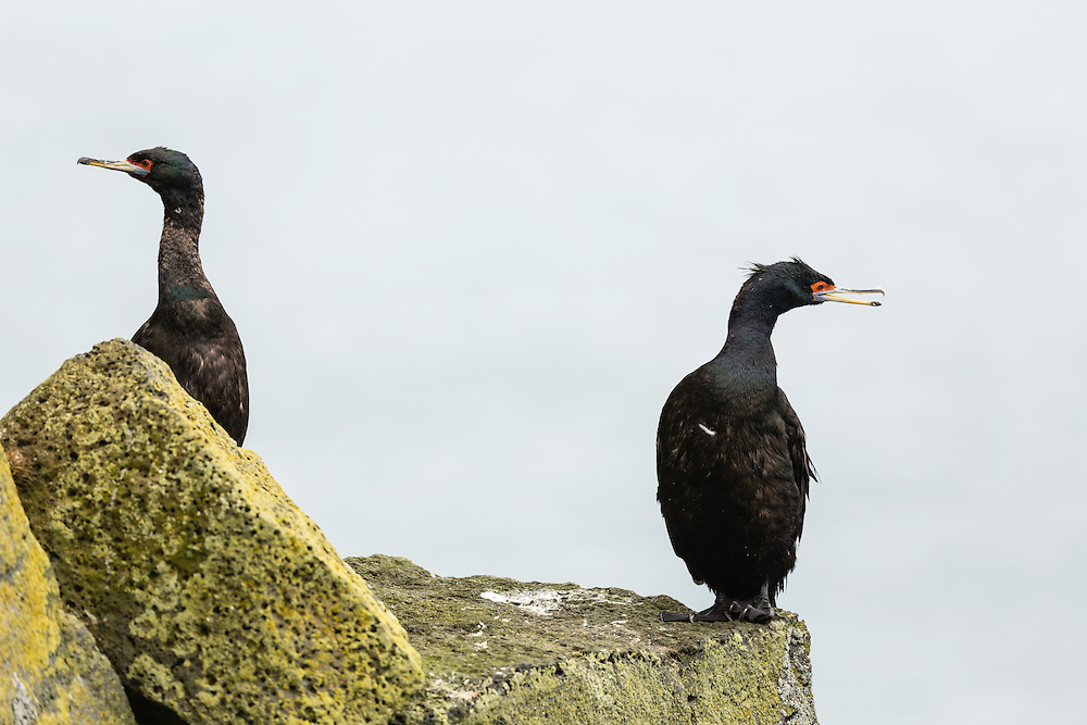 Red-faced Cormarants (Phalacrocorax urile) perched on boulder along the Bering Sea on St. Paul Island in Southwest Alaska. Summer. Afternoon.