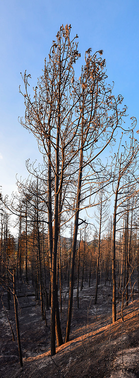 Ponderosa pine trees killed by Cajete Fire, view toward Redondo Peak on the north side of State Road 4. © 2017 David A. Ponton
