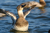 Canvasback Ducks  (Aythya valisineria) on the Chesapeake Bay, near Cambridge, Maryland, U.S.A.