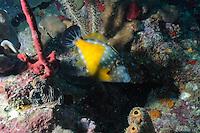 Whitespotted Filefish.