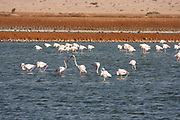 A flock of Greater Flamingo (Phoenicopterus roseus) wading in a water pool. Photographed in the Arava, Near Eilat, Israel
