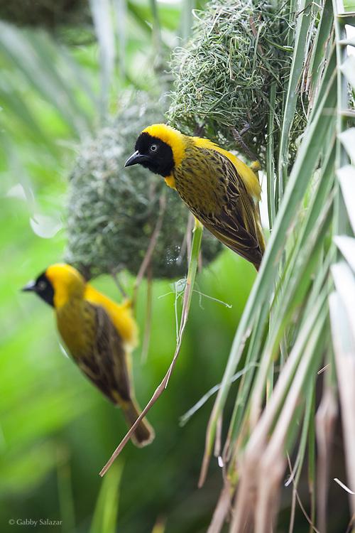 Weaver birds. Skukuza. Kruger National Park. South Africa. Organization for Tropical Studies Trip 2009.