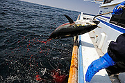 Tuna fisherman Kanji Nishi pulls aboard a 15-kg tuna -- the first tuna he has caught in over a month, in the waters off Iki Island, Nagasaki Prefecture, Japan