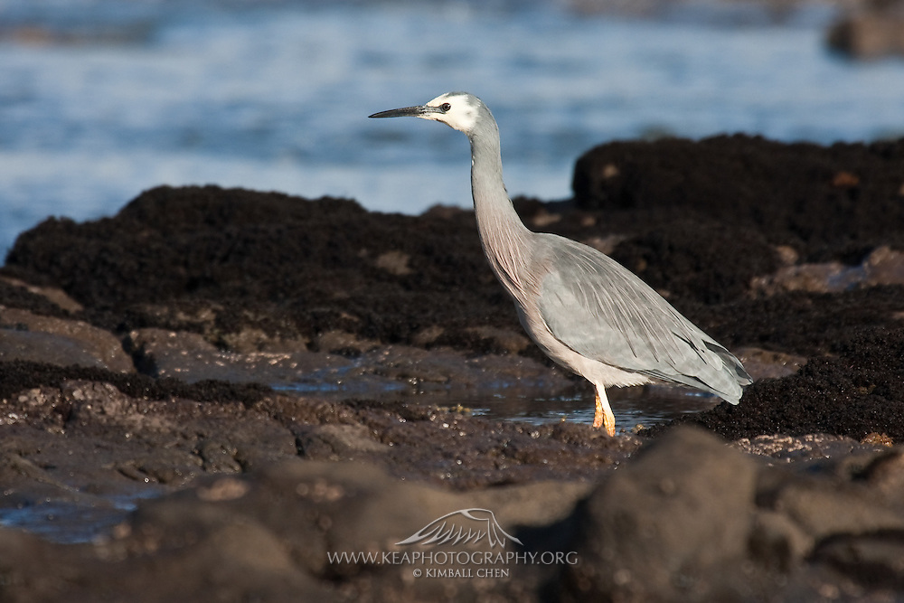 White-faced Heron, Curio Bay, New Zealand