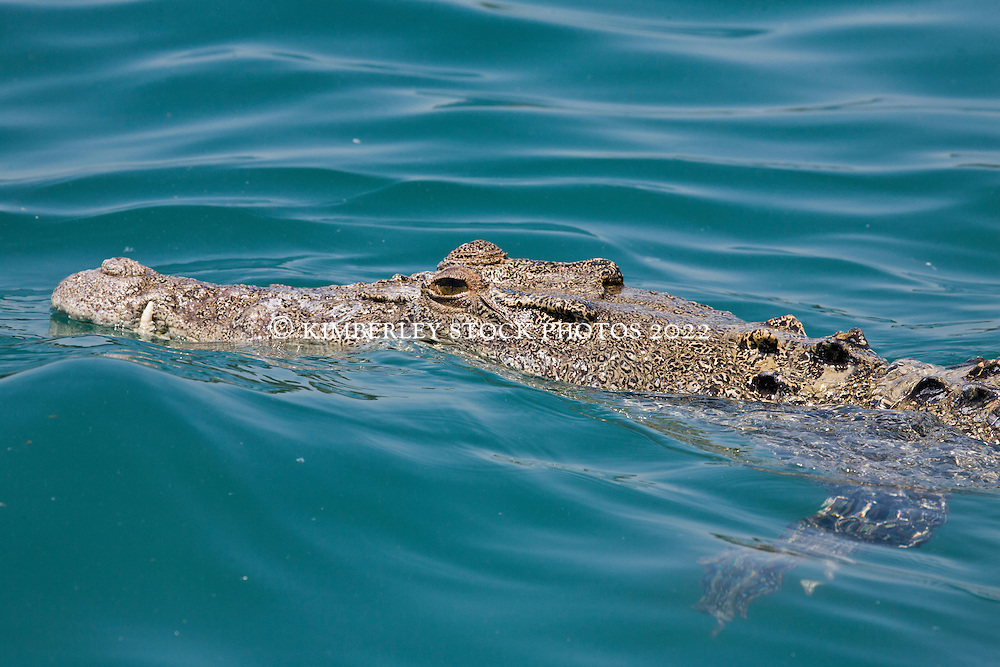 A crocodile swims off Hall Point in Camden Sound on the Kimberley coast.