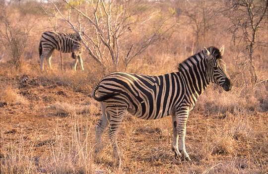 Burchell's Zebra, (Equus burchelli) Pair keeping wary eye out for danger in bushveld. Kruger National Park. South Africa.