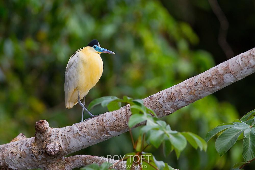 Capped Heron (Pilherodius pileatus), Amazon, Mato Grosso, Brazil