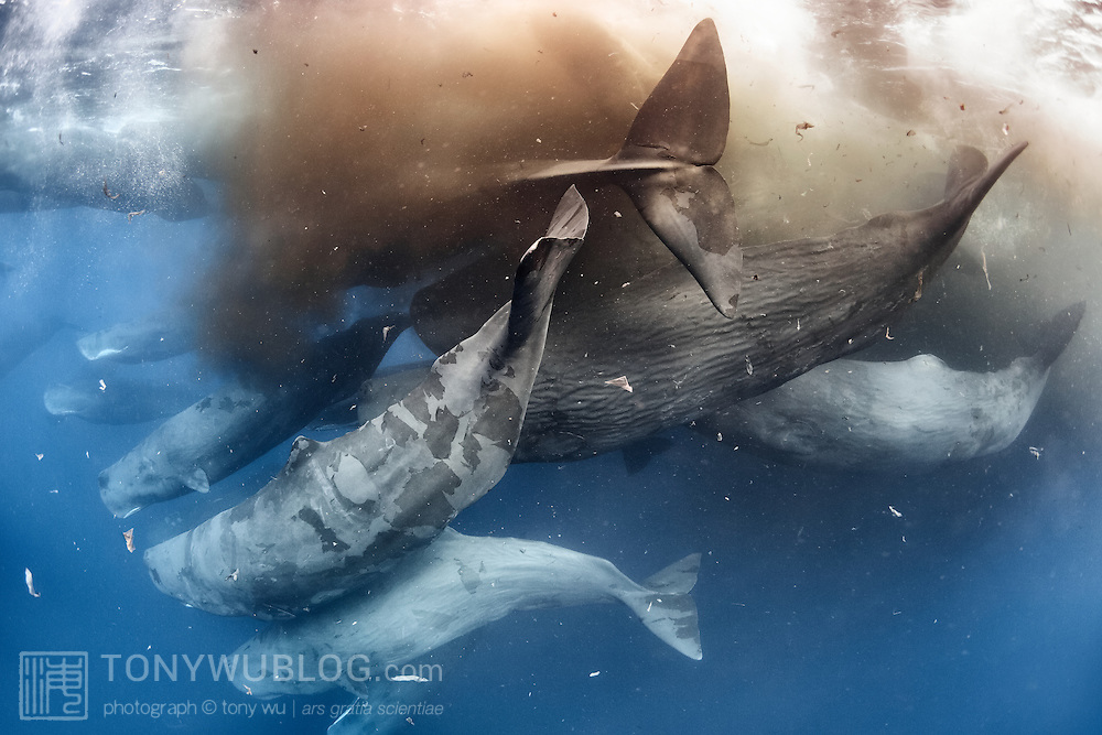 Sperm whales (Physeter macrocephalus) defecating while engaged in a massive social gathering comprising hundreds, perhaps thousands, of individuals. Defecation like this is common in sperm whale social gatherings, as is shedding of skin as seen here.