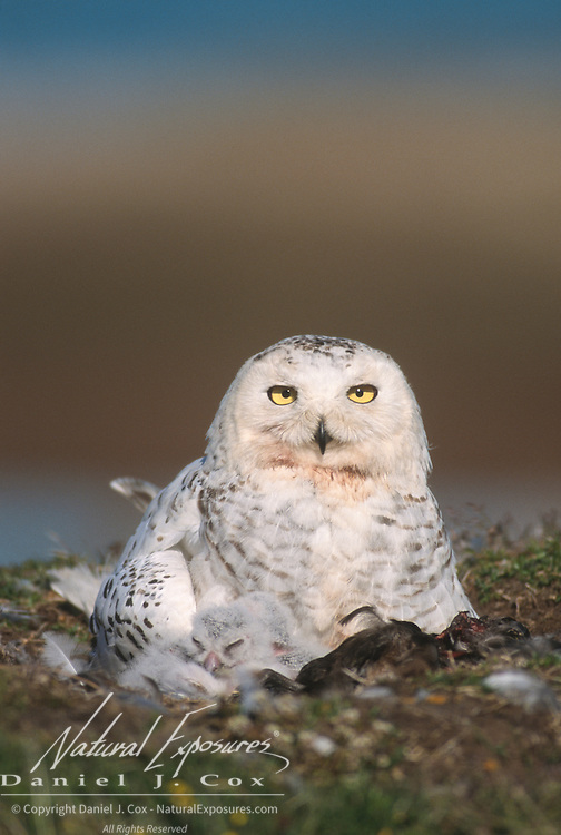Snowy Owl (Bubo scandiacus) adult with chicks in the nest. Barrow, Alaska