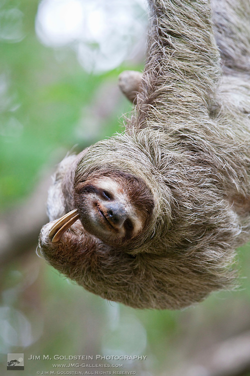 A Brown-throated Sloth (Bradypus variegatus) scratches It's neck with its distinctive claw - Corcovado National Park, Costa Rica