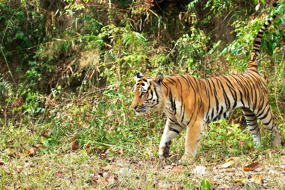 Wild male Tiger, Panthera tigris at dusk in Thailand's Dong Phaya Yen - Khao Yai World Heritage site.