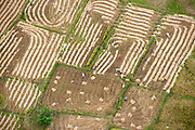 Paddy Harvest