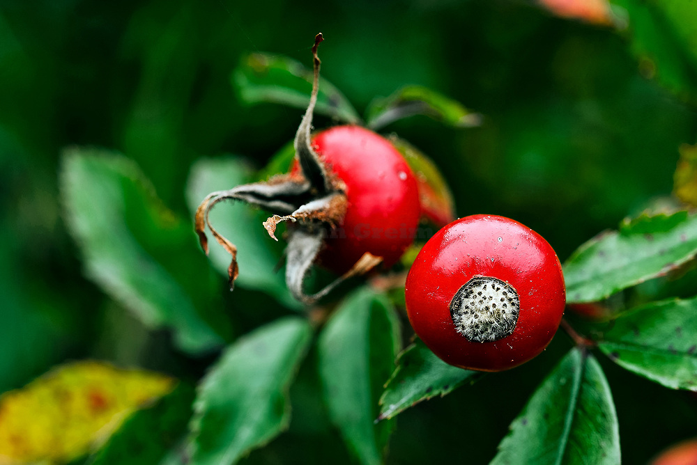 Rose hip fruit detail.