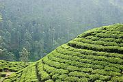 Tea Landscape near Glen Gariff