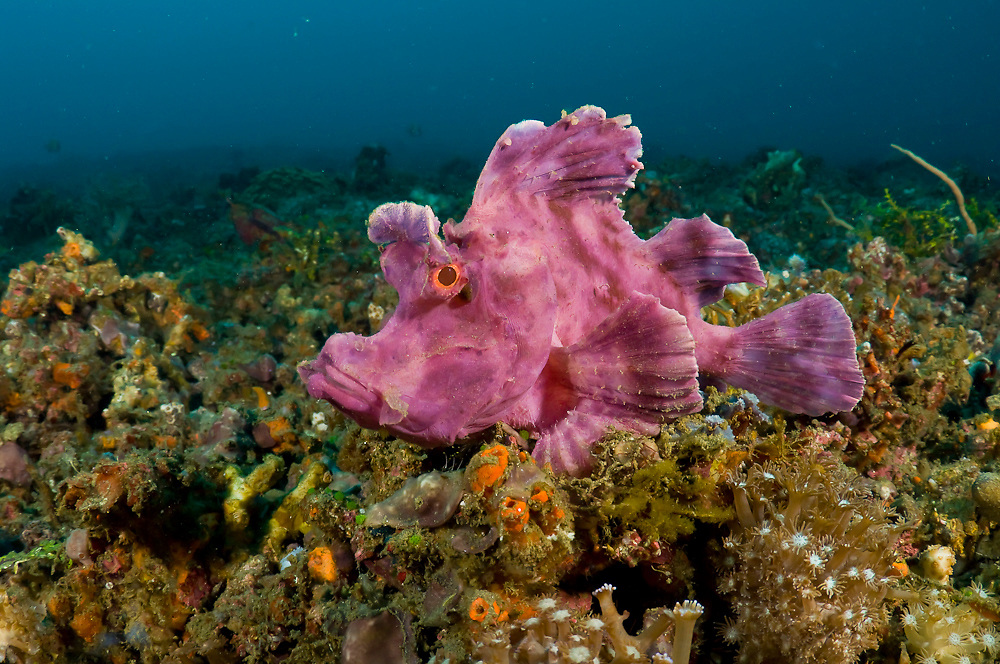 Paddle-flap Scorpionfish (Rhinopias eschmeyeri) photographed in Lembeh Strait, Indonesia.