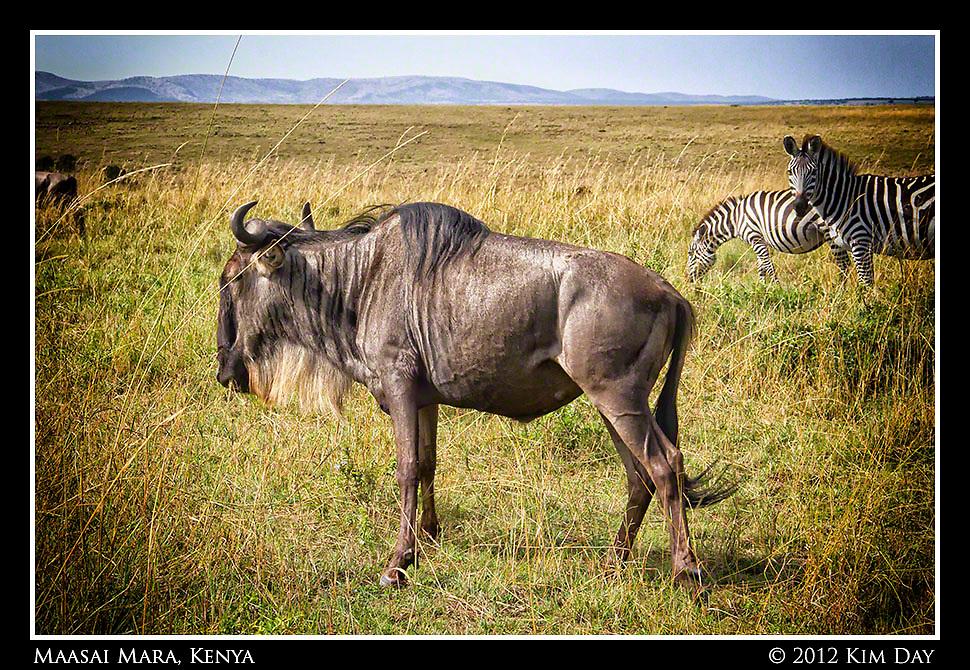 Wildebeest and Zebra.Maasai Mara, Kenya.September 2012