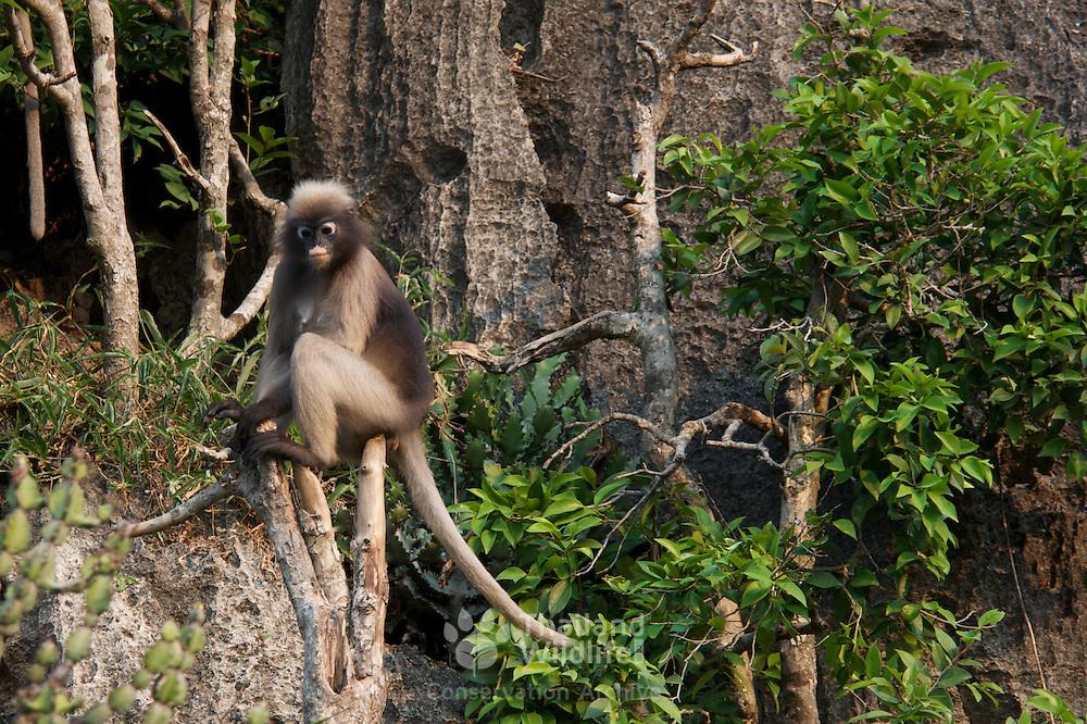 Dusky Leaf Monkey or Dusky Langur, Trachypithecus obscurus, in Khao Sam Roi Yot National Park, Thailand.