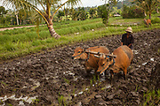 Ploughing with cattle, rice paddy, Bali, Indonesia