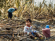 24 JANUARY 2017 - PHRA THAEN, KANCHANABURI, THAILAND: A child sits in a sugarcane field while workers harvest the cane in Phra Thaen. Thai government  officials recently announced that they plan to float sugar prices later this year or early in 2018. Wholesale prices are currently set by the Cane and Sugar Board, a part of the Industry Ministry, while the Commerce Ministry sets the retail price. Thailand has fixed retail prices of sugar to guarantee a profit for farmers. Thailand is the world's leading exporter of sugar, after Brazil. Thai sugar production is expected to drop by more than three percent because of the lingering drought that crippled agriculture through 2015 and 2016.    PHOTO BY JACK KURTZ