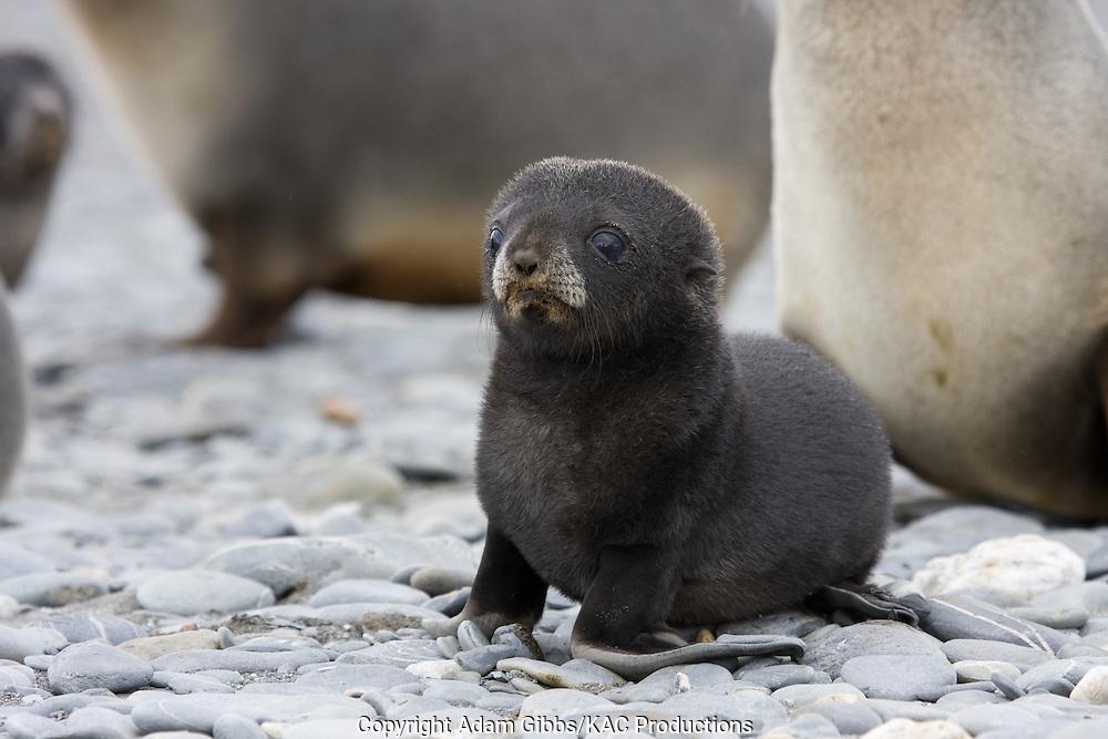 Antarctic Fur Seal; Antarctic Fur Seals; Aptenodytes patagonicus; Arctocephalus gazella;baby; Mammals; Salisbury Plain; South Georgia Island; Southern Elephant Seal; Southern Elephant Seals