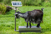 Pigmy goats on scales - The annual weigh-in records animals' vital statistics at ZSL London Zoo. London, 24 August 2017