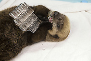 Northern sea otter<br /> Enhydra lutris <br /> Three-month-old orphaned pup chewing on ice cubes<br /> Alaska Sea Life Center, Seward, Alaska