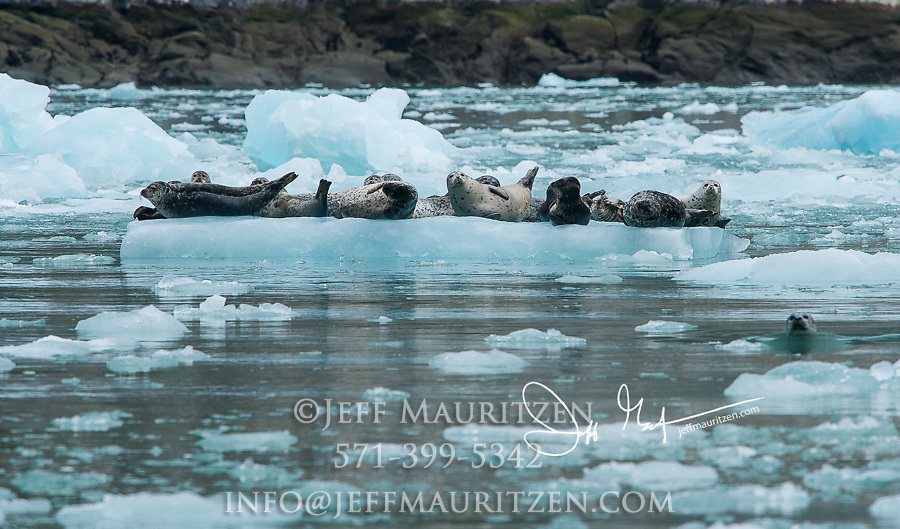 Harbor seals rest on an iceberg in Dawes Glacier, Endicott Arm, Fords Terror Wilderness, Inside Passage, Alaska.