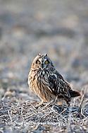 01113-01209 Short-eared Owl (Asio flammeus) on ground near Prairie Ridge State Natural Area, Marion Co., IL