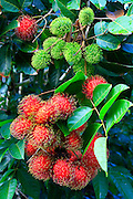Rambutan, Hilo, Island of Hawaii