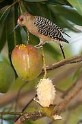 Red-crowned Woodpecker (Melanerpes rubricapillus)<br /> Orinoco River, north of Puerto Ayacucho. Apure Province, VENEZUELA. South America.<br /> Gallery and deciduous forests, open woodlands.<br /> RANGE: Bay Island, Honduras, sw Costa Rica, Panama, n Colombia, Guyana, Surinam, Venezuela & Tobago.