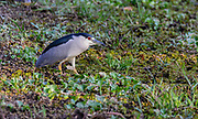 Black-crowned night heron (Nycticorax nycticorax) from Pantanal, Brazil.