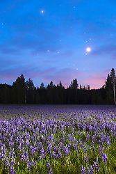 """Sagehen Meadow at Night 2"" - Photograph of the Camas wildflowers at Sagehen Meadows, near Truckee, California at night."